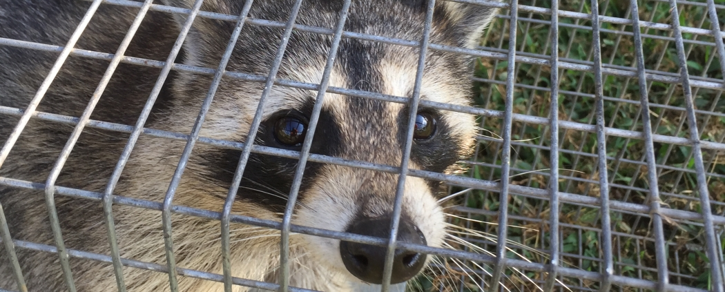 Raccoon Animal Trapped in a live cage