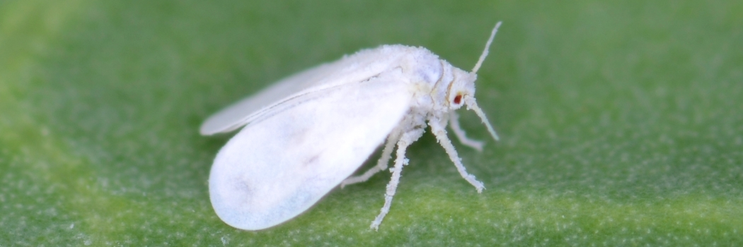 This is a picture of a white fly on top of a South Florida Lawn